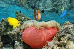 Ζωηρόχρωμα τροπικά ψάρια με ένα anemone Ειρηνικός θάλασσας Στοκ φωτογραφίες με δικαίωμα ελεύθερης χρήσης