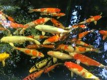 Ζωηρόχρωμα φανταχτερά ψάρια κυπρίνων στη λίμνη, ψάρια Koi στοκ εικόνες με δικαίωμα ελεύθερης χρήσης