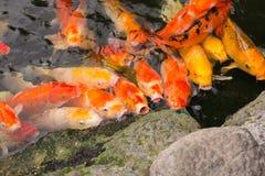 Ζωηρόχρωμα φανταχτερά ψάρια κυπρίνων Στοκ Φωτογραφίες