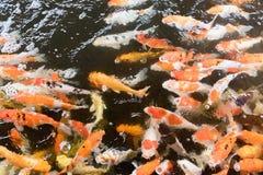 Ζωηρόχρωμα φανταχτερά ψάρια κυπρίνων, ψάρια koi Στοκ φωτογραφίες με δικαίωμα ελεύθερης χρήσης