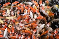 Ζωηρόχρωμα φανταχτερά ψάρια κυπρίνων, ψάρια koi Στοκ φωτογραφία με δικαίωμα ελεύθερης χρήσης