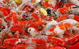 Ζωηρόχρωμα φανταχτερά ψάρια κυπρίνων, ψάρια koi Στοκ εικόνα με δικαίωμα ελεύθερης χρήσης