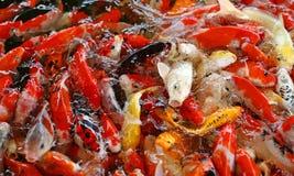 Ζωηρόχρωμα φανταχτερά ψάρια κυπρίνων, ψάρια koi Στοκ Φωτογραφία