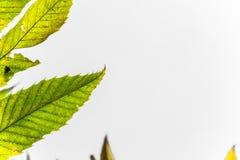 Ζωηρόχρωμα φθινοπώρου πτώσης φύλλα κάστανων εποχής πράσινα κίτρινα, δημιουργικό σχέδιο υποβάθρου με το διαστημικό κείμενο αντιγρά Στοκ Φωτογραφίες