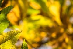Ζωηρόχρωμα φύλλα κάστανων εποχής πτώσης φθινοπώρου, δημιουργικό σχέδιο υποβάθρου Στοκ Φωτογραφία