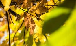 Ζωηρόχρωμα φύλλα κάστανων εποχής πτώσης φθινοπώρου, δημιουργικό σχέδιο υποβάθρου Στοκ Εικόνα