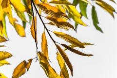Ζωηρόχρωμα φύλλα κάστανων εποχής πτώσης φθινοπώρου, δημιουργικό σχέδιο υποβάθρου με το διαστημικό κείμενο αντιγράφων στο άσπρο υπ Στοκ φωτογραφίες με δικαίωμα ελεύθερης χρήσης
