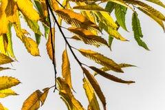 Ζωηρόχρωμα φύλλα κάστανων εποχής πτώσης φθινοπώρου, δημιουργικό σχέδιο υποβάθρου με το διαστημικό κείμενο αντιγράφων στο άσπρο υπ Στοκ φωτογραφία με δικαίωμα ελεύθερης χρήσης