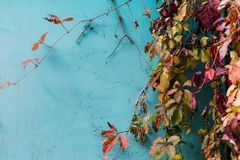Ζωηρόχρωμα φύλλα κοντά στον μπλε τοίχο Εποχιακή έννοια φθινοπώρου Στοκ Εικόνες