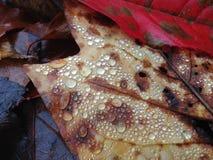 Ζωηρόχρωμα φύλλα πτώσης με τις πτώσεις νερού Στοκ φωτογραφία με δικαίωμα ελεύθερης χρήσης