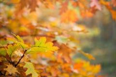 Ζωηρόχρωμα φύλλα πτώσης στην εκλεκτική εστίαση κλάδων Στοκ εικόνα με δικαίωμα ελεύθερης χρήσης