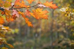 Ζωηρόχρωμα φύλλα πτώσης στην εκλεκτική εστίαση κλάδων Στοκ Εικόνα
