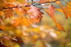 Ζωηρόχρωμα φύλλα πτώσης στην εκλεκτική εστίαση κλάδων Στοκ Φωτογραφία