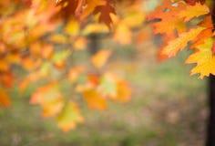 Ζωηρόχρωμα φύλλα πτώσης στην εκλεκτική εστίαση κλάδων Στοκ Εικόνες