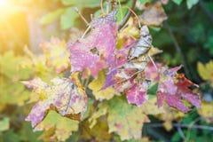 Ζωηρόχρωμα φύλλα στο δέντρο φθινοπώρου και τις κίτρινες ακτίνες ήλιων, εποχιακά Στοκ εικόνα με δικαίωμα ελεύθερης χρήσης