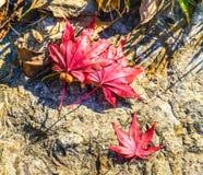 Ζωηρόχρωμα φύλλα σφενδάμου πτώσης που συλλαμβάνονται στο έδαφος, περίληψη φύσεων Στοκ φωτογραφία με δικαίωμα ελεύθερης χρήσης