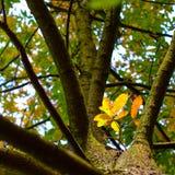 Ζωηρόχρωμα φύλλα του φθινοπώρου - Macea, Arad, Ρουμανία Στοκ Φωτογραφία