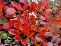 Ζωηρόχρωμα φύλλα φθινοπώρου Tundra των φυτών στην Αλάσκα στοκ εικόνα