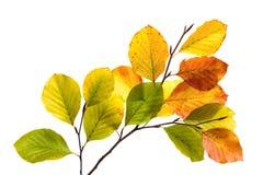 Ζωηρόχρωμα φύλλα δέντρων οξιών που απομονώνονται στο λευκό Στοκ Εικόνες