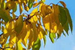 Ζωηρόχρωμα φύλλα κερασιών φθινοπώρου Στοκ Φωτογραφίες