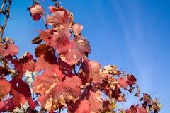 Ζωηρόχρωμα φύλλα σταφυλιών φθινοπώρου ενάντια στον ουρανό Στοκ εικόνα με δικαίωμα ελεύθερης χρήσης