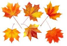 Ζωηρόχρωμα φύλλα σφενδάμου φθινοπώρου που απομονώνονται στο λευκό Στοκ Εικόνες