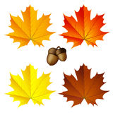 Ζωηρόχρωμα φύλλα σφενδάμου φθινοπώρου ελεύθερη απεικόνιση δικαιώματος