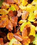 ζωηρόχρωμα φύλλα φθινοπώρ&omicr Στοκ Φωτογραφίες