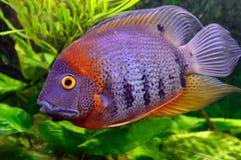 Ζωηρόχρωμα ψάρια ενυδρείων Στοκ Φωτογραφία
