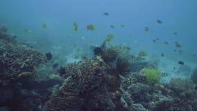 Ζωηρόχρωμα ψάρια θάλασσας που κολυμπούν πέρα από την κοραλλιογενή ύφαλο στην υποβρύχια άποψη βυθού Κατάδυση και κολύμβηση με αναπ φιλμ μικρού μήκους