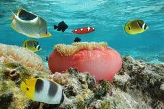 Ζωηρόχρωμα ψάρια και ένα anemone θάλασσας υποβρύχιο Στοκ Φωτογραφία