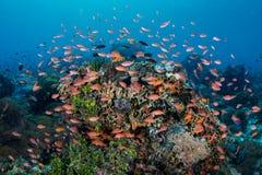Ζωηρόχρωμα ψάρια σκοπέλων στην Ινδονησία Στοκ Φωτογραφίες