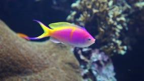 Ζωηρόχρωμα ψάρια στην κοραλλιογενή ύφαλο απόθεμα βίντεο