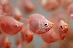 ζωηρόχρωμα ψάρια τροπικά Στοκ εικόνες με δικαίωμα ελεύθερης χρήσης