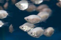 ζωηρόχρωμα ψάρια τροπικά Στοκ Φωτογραφίες