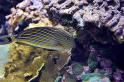 ζωηρόχρωμα ψάρια τροπικά Στοκ φωτογραφία με δικαίωμα ελεύθερης χρήσης