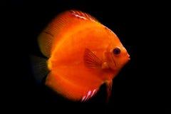 ζωηρόχρωμα ψάρια discus τροπικά Στοκ φωτογραφία με δικαίωμα ελεύθερης χρήσης