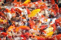 Ζωηρόχρωμα ψάρια koi στο υπόβαθρο λιμνών στοκ φωτογραφίες