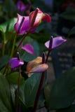 Ζωηρόχρωμα anthurium λουλούδια Στοκ Εικόνες