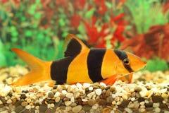 Ζωηρόχρωμα aquarian μικρά ψάρια Στοκ Εικόνες