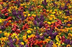 Ζωηρόχρωμα begonias, marigolds και pansies Στοκ φωτογραφίες με δικαίωμα ελεύθερης χρήσης