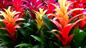 Ζωηρόχρωμα bromeliads Στοκ εικόνα με δικαίωμα ελεύθερης χρήσης