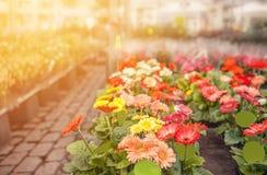 Ζωηρόχρωμα gerberas λουλουδιών στην αγορά στην οδό μια ηλιόλουστη ημέρα Το οριζόντιο πλαίσιο Στοκ εικόνες με δικαίωμα ελεύθερης χρήσης