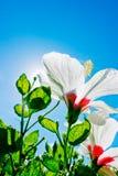 Ζωηρόχρωμα hibiscus λουλούδια στην ημέρα Στοκ Φωτογραφίες