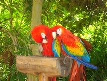 Ζωηρόχρωμα macaws σε ένα πάρκο cancun Στοκ Φωτογραφία