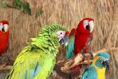 ζωηρόχρωμα macaws Στοκ εικόνες με δικαίωμα ελεύθερης χρήσης