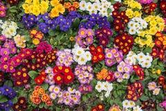 Ζωηρόχρωμα primulas σε ένα πάρκο της Ιστανμπούλ Στοκ Φωτογραφίες