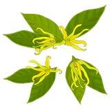 Ylang-ylang λουλούδια Στοκ Φωτογραφία
