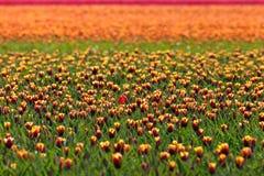 ζωηρόχρωμες ολλανδικές τουλίπες λουλουδιών πεδίων Στοκ Εικόνα