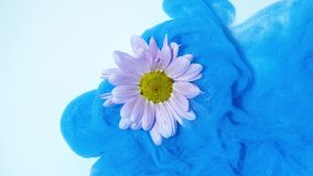 Ζωηρόχρωμες ροές μπλε μελανιού σε ένα ρόδινο λουλούδι στο νερό απόθεμα βίντεο